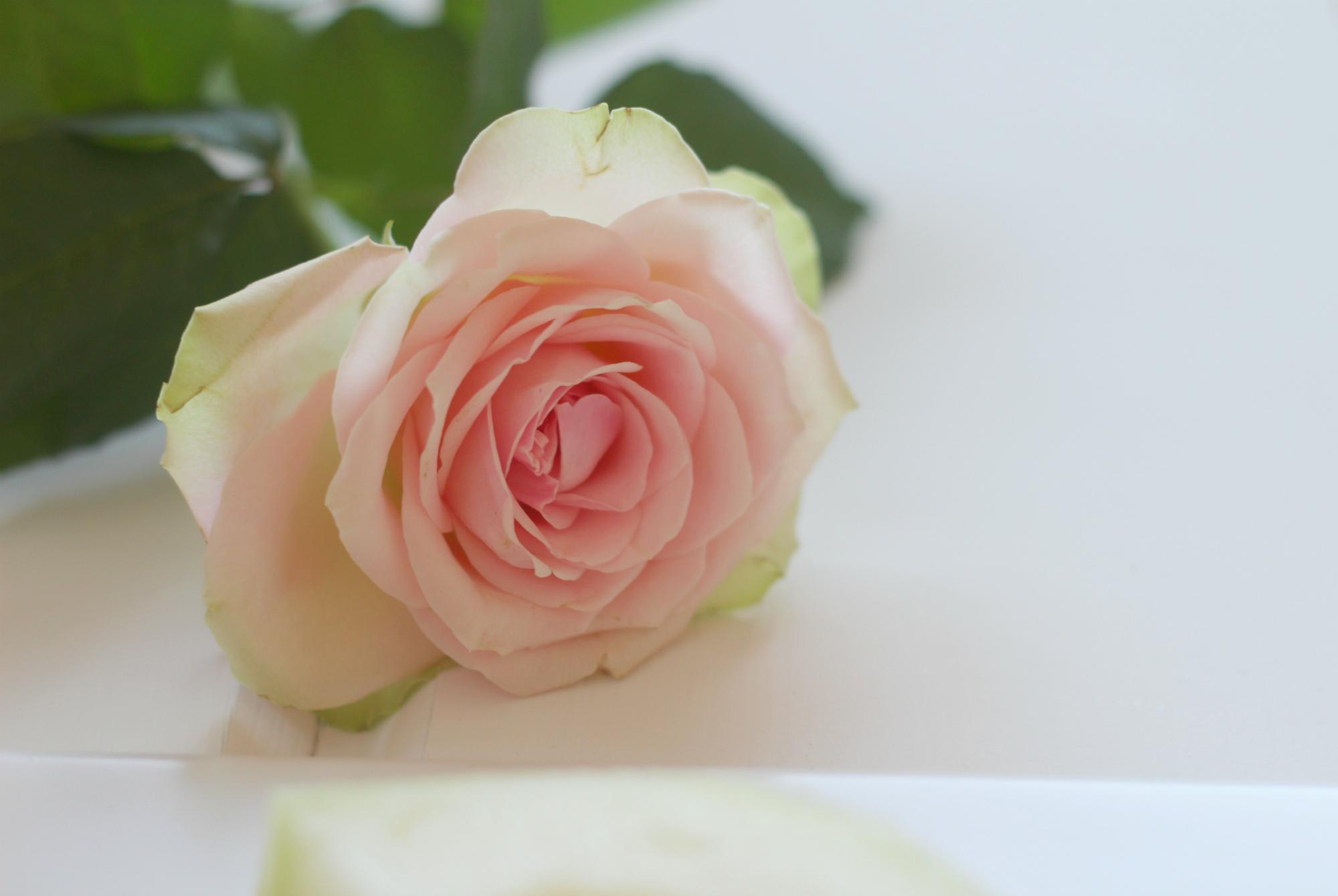 pinkki-ruusu