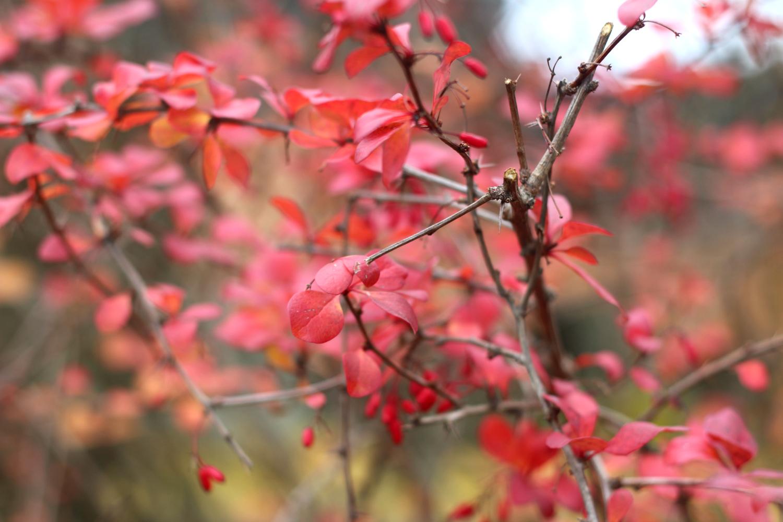 punaiset-lehdet
