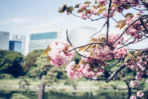 cherry-blossom-trees-tokyo-11