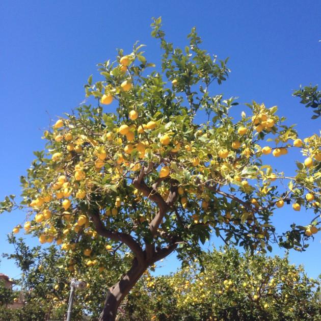 Mutta sitten guiri näki sitruunapuun ja oli pakko ottaa kuva!