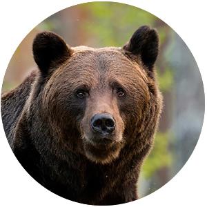 Suomalainen eläinhoroskooppi: karhu