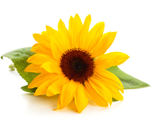 kukkahoroskooppi: auringonkukka