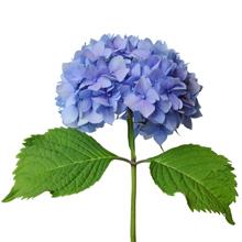 kukkahoroskooppi: hortensia