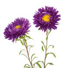 kukkahoroskooppi: krysanteemi