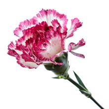 kukkahoroskooppi: tarhaneilikka
