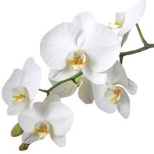 kukkahoroskooppi: orkidea
