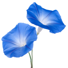 kukkahoroskooppi: päivänsini