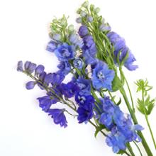 kukkahoroskooppi: ritarinkannus