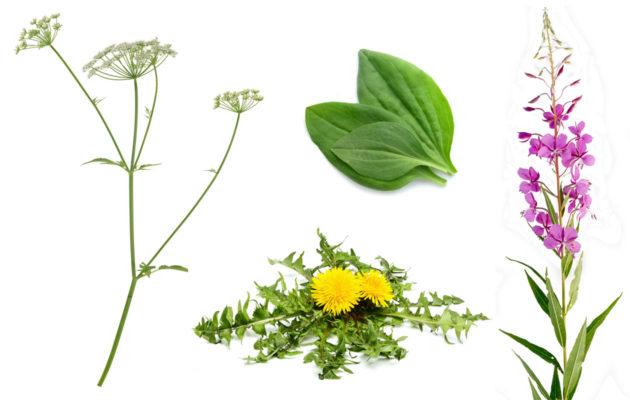 Luonnonkasvit, joita voi kerätä