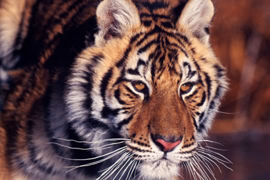 Tiikeri Horoskooppi