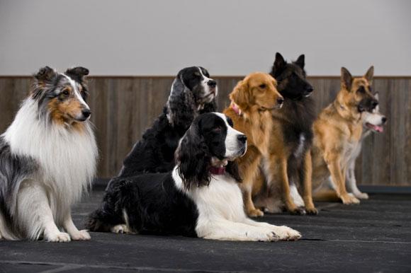 Mitä koirarotua muistutat henkisesti? Vastaa 12 kysymykseen ja saat tietää, oletko kuin tarmokas terrieri vai uskollinen noutaja