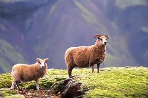 koukku Islannissa